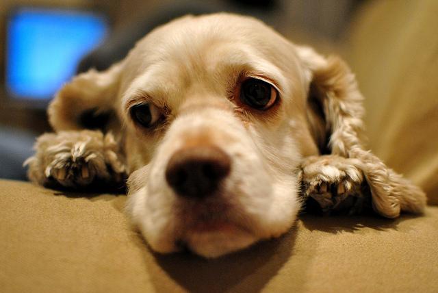 болезни сердца собак