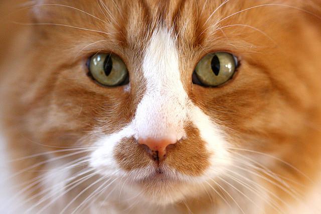 Eye disease in cats