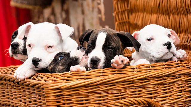 искусственное оплодотворение собак