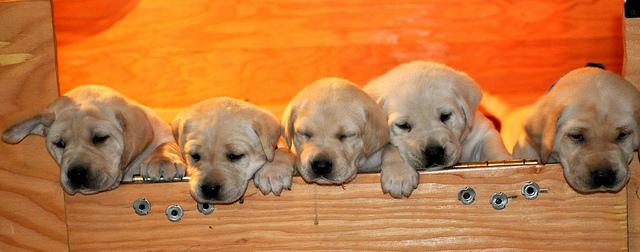 проблемы репродукции собак